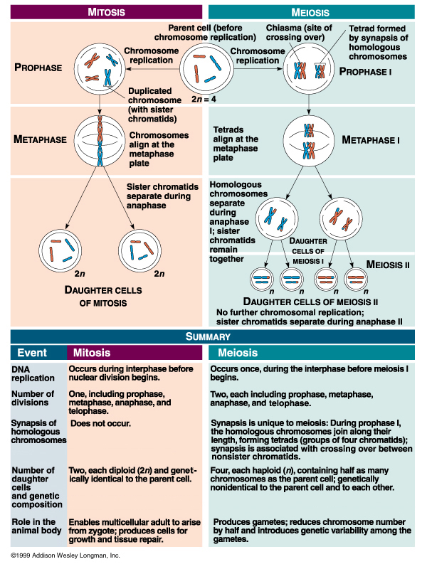 meiosis mitosis and homologous chromosomes exchange Explore 16 major differences between mitosis and meiosis by all the homologous chromosomes that make up the chromosomes of each pair are exchange.